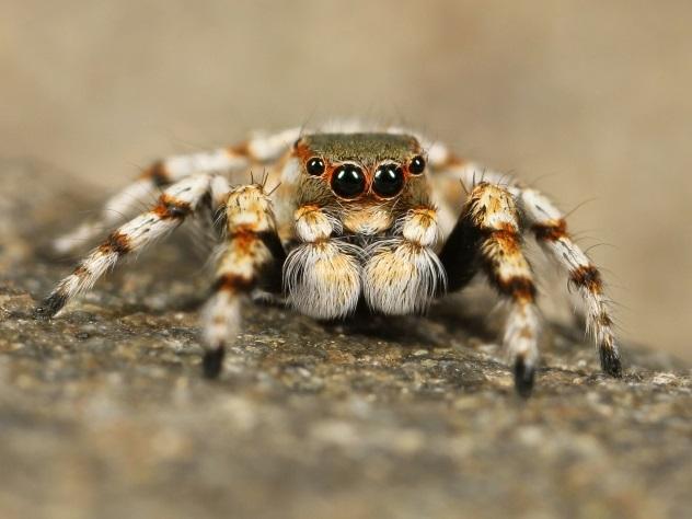 Ученые: впервый раз  зафиксирован случай поедания тарантулом змеи