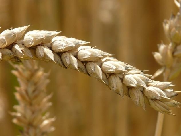 Поставки пшеницы икукурузы изРФ вТурцию практически остановлены