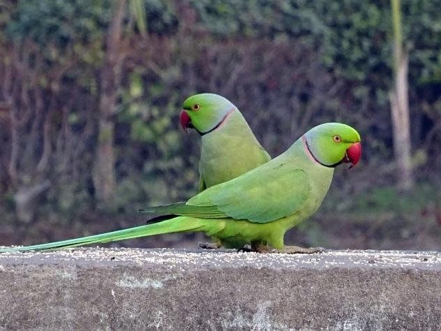 Индийские попугаи-наркоманы убивают посевы опийного мака
