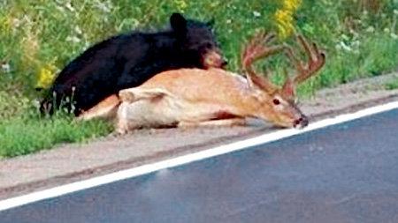 ...лесной разбойник способен догнать даже оленя