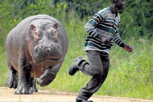 На вид бегемоты неуклюжи и флегматичны, но, если растревожить этого «увальня», он может рвануть со скоростью 45 километров в час. Плюс клыки длиною до полуметра