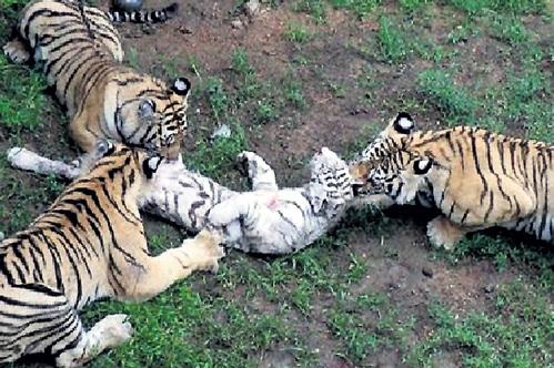 Тигр и венера порно