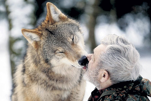 Проявить нежность имеет право не каждый волк, а только альфа-самец