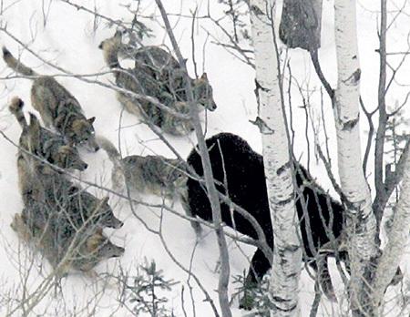 На взрослых лосей волки нападают стаей и только сзади. Охотятся в малоснежный период - по снегу волкам трудно угнаться за парнокопытным