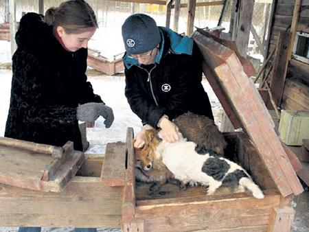 Норных собак запускают в деревянный тоннель следом за енотом или лисицей