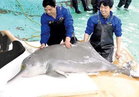 Пресноводные дельфины водятся в крупнейшей в Китае реке Янцзы, но из-за нехватки рыбы и развития судоходства их численность стремительно сокращается