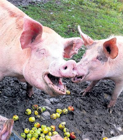 Латышские свиньи рады: им теперь достанется куча еды