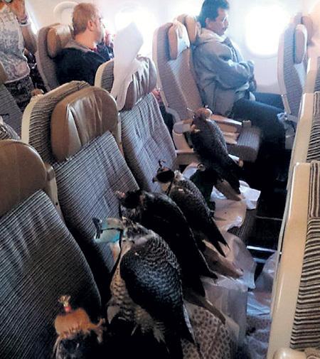 Арабский шейх выкупил 12 мест в самолёте для своих охотничьих соколов. Птицам надели на головы плотные шапочки, чтобы они не мешали остальным пассажирам
