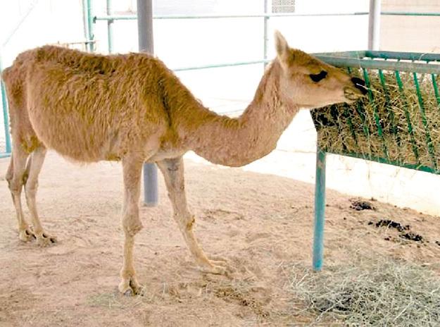 Камы получаются от мамы ламы и папы верблюда только с помощью искусственного оплодотворения