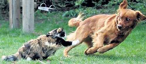 Разозлённой кошке не страшен превосходящий её по размерам и весу соперник