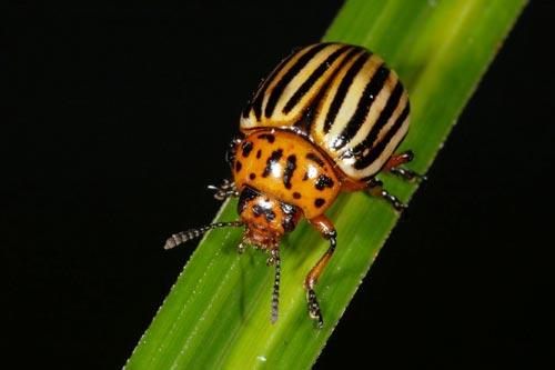 Колорадский жук «покорил» СССР всего за несколько лет. wikipedia