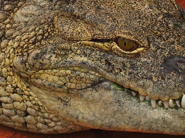 Оперативники обнаружили двухметрового крокодила при обыске вПетергофе