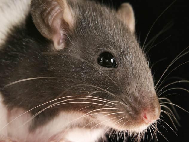 Крысы пробрались в банкомат через отверстие для провода.