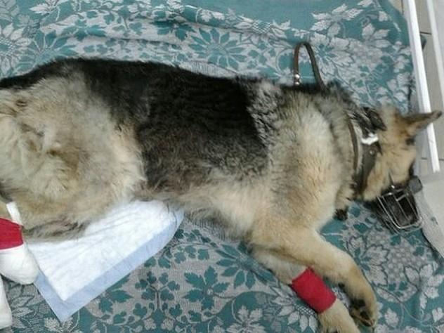 Выброшенному с отрубленными лапами псу сделают 3D-протез
