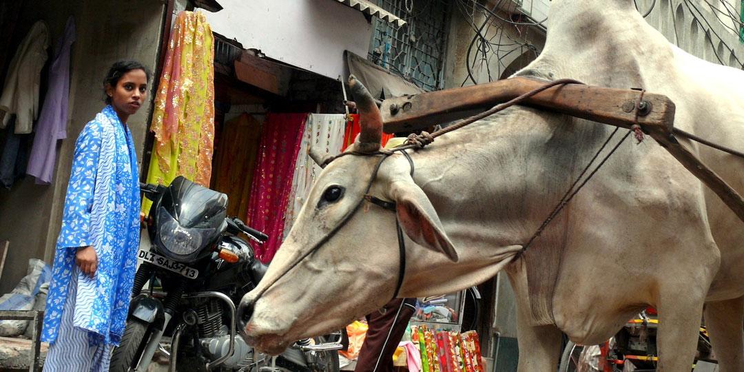 В Индии корова - всему голова. Фото: pixabay.com